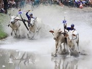 2013年安江省七山斗牛节正式开赛