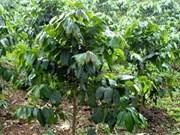 越南与老挝合作发展咖啡生产与出口