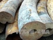 越南海防市查获2.4吨走私象牙