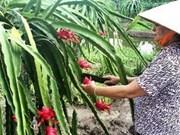 越南茶荣省向美国出口30吨红肉火龙果