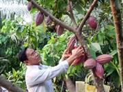 越南推动可可生产活动发展的黄金时期已到