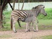 非洲斑马在越南平阳省出生