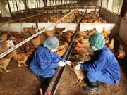 越南昆嵩省发现感染甲型H5N1禽流感病毒的鸡群