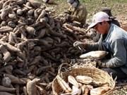 中国是越南木薯最大出口市场