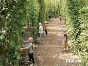 2014年越南胡椒出口额将攀10亿美元新高峰