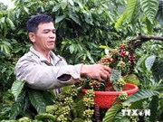 越南得乐省咖啡出口市场较为稳定