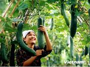 越南注重生产安全优质蔬菜
