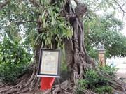 越南广义省李山岛县的两棵古榕树被列入《越南遗产树名录》