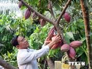 越南九龙江三角洲注重推进可可树种植业发展
