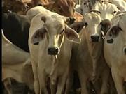 澳大利亚对越南家畜出口量猛增