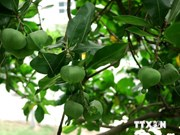越南长沙群岛一些树木被列入越南遗产树名录