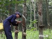 2014年越南橡胶出口额可下降30%