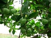 越南李山岛县战士们展开滨玉蕊育苗工作
