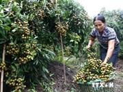 越南龙眼满足向美国市场出口的标准