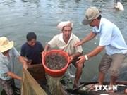 越南全国半咸水虾类养殖产量创下纪录新高