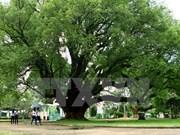 得乐省两棵樟树被列入越南遗产树名录