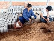 越南:灰鮑魚菇新种植模式