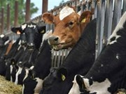 越南忠桐有限公司每月从澳大利亚进口1500至3000头牛