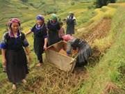 越南安沛省穆庚寨县蒙族同胞开始忙着准备过年