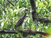 越南三海湖国家公园发现虎斑鸠