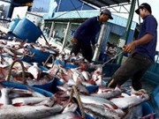 越南九龙江三角洲查鱼出口量达2.6万吨