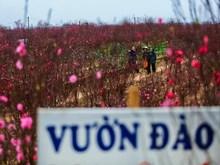 新春佳节来临: 河内市日新桃花村的桃花开始盛开 四联桔子果园里果实累累