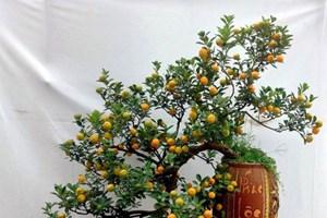 春节期间越南人摆设金桔盆景的习俗