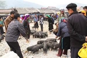 """""""腋夹""""猪——越南北部山区著名土特产"""